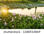beautiful water hyacinth is...   Shutterstock . vector #1288514869