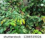 medicinal plants grow naturally ...   Shutterstock . vector #1288535026