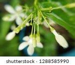 transparent water drops on wild ... | Shutterstock . vector #1288585990