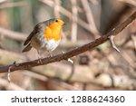 robin bird erithacus rubecula... | Shutterstock . vector #1288624360