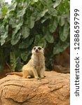 suricata suricatta meerkat ...   Shutterstock . vector #1288659799
