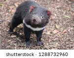 Tasmanian Devil.  Cradle...