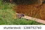 varans lying by the river on a... | Shutterstock . vector #1288752760