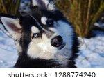 siberian husky tilting his head ... | Shutterstock . vector #1288774240