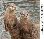 Two Small Clawed Otters Sittin...