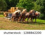 Four Draft Horses In...
