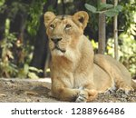 Female Lion Sitting On Ground...