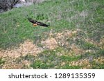 red tailed hawk soaring over...   Shutterstock . vector #1289135359