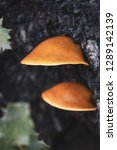 Orange Mushrooms. Shelf Fungus...