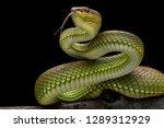 Green goldy skin viper snake...