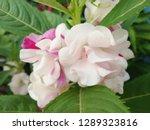blossom white and pink flower ... | Shutterstock . vector #1289323816