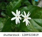 closeup scented star or... | Shutterstock . vector #1289323819