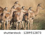herd of impala in moremi... | Shutterstock . vector #1289512873