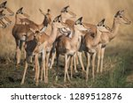 herd of impala in moremi... | Shutterstock . vector #1289512876