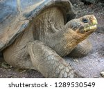 Stock photo lonesome george was a male pinta island tortoise and the last known individual of the species on 1289530549