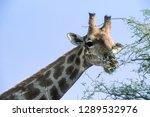 giraffe   giraffa... | Shutterstock . vector #1289532976