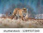Siberian Tiger Running....