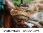 close up of a giraffe snout in... | Shutterstock . vector #1289540896