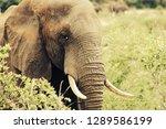 big elephant bull  kruger... | Shutterstock . vector #1289586199
