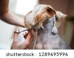 Stock photo grooming dog pet groomer cuts yorkshire terrier dog hair with scissors in groomers salon 1289695996