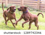 Redbone coonhounds dogs playing ...