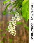 Stock photo blossoming bird cherry flowers bird cherry tree 1289761903