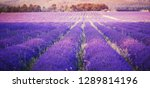 Stock photo lavender field in sunlight provence france rows extending into distance violet tone 1289814196