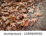 close up of brown marple leaves ... | Shutterstock . vector #1289849050