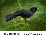 yellow thighed finch  ... | Shutterstock . vector #1289912116