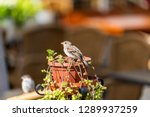 one sparrow bird perched on... | Shutterstock . vector #1289937259