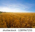 summer wheat field landscape at ... | Shutterstock . vector #1289967253