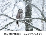 Great Grey Owl Perching On A...