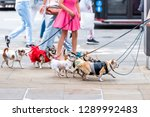 Stock photo many small chihuahua dogs on leash funny walking with walker woman girl in pink dress on street 1289992483