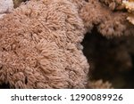 giant anthelia   feathery xenid ... | Shutterstock . vector #1290089926