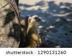 meerkat  suricate  suricata...   Shutterstock . vector #1290131260