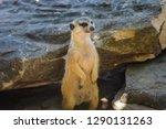 meerkat  suricate  suricata...   Shutterstock . vector #1290131263