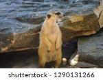 meerkat  suricate  suricata...   Shutterstock . vector #1290131266