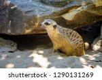 meerkat  suricate  suricata...   Shutterstock . vector #1290131269