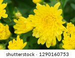 beautiful bright yellow... | Shutterstock . vector #1290160753