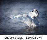 Adult Trumpeter Swan With Wing...