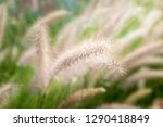 close up white poaceae grass... | Shutterstock . vector #1290418849