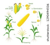 maize plant growth infographic... | Shutterstock .eps vector #1290494536