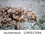 hedge with brown leaves on...   Shutterstock . vector #1290517096