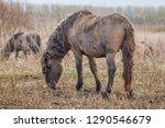 wild konik stallion searching...   Shutterstock . vector #1290546679