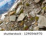 glacier buttercup  alpine... | Shutterstock . vector #1290546970