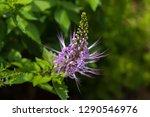 purple flower of purple cat's... | Shutterstock . vector #1290546976
