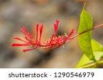 red flower of cardinal's crest  ... | Shutterstock . vector #1290546979