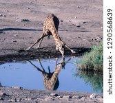giraffe   giraffa... | Shutterstock . vector #1290568639