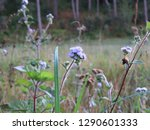 Background With Weeds  Flower...