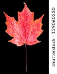 Red maple leaf ( (indian summer) . Autumn symbol. Seasonal themed concept. Icon of the fall weather on an isolated black background. - stock photo